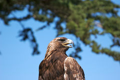 hawk. Fotografia Royalty Free