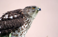 Hawk. A close up of a hawk royalty free stock images