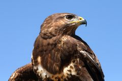 Free Hawk Royalty Free Stock Images - 4892259