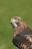 Hawk Stock Photo