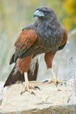 Hawk. A flying Harris's Hawk in Colorado outside brown Stock Photos