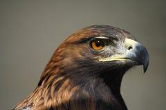 Hawk. Wonderful catch light in the hawk's eye Stock Photos