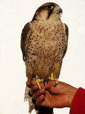 Hawk. A hawk perched on a man's hand royalty free stock image