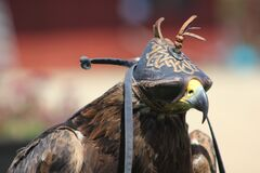 Hawk royalty free stock photos