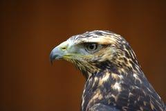 Hawk. Portrait on dark brown background Royalty Free Stock Photo