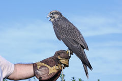 Hawk. On hand Stock Photos