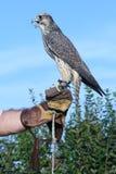 Hawk. Gray falcon Stock Photo