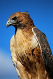 Hawk against blue sky Royalty Free Stock Images