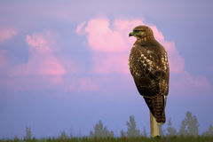 Hawk Against Dramatic Sky. A red tailed hawk sits on perch looking for prey.  This carnivore is categorized as a raptor, a bird of prey Stock Image