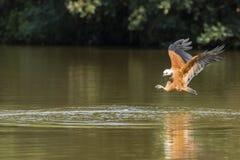 Hawk Approaching River agarrado negro a pescar foto de archivo libre de regalías