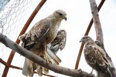The hawk in the aviary. The maintenance of animals in captivity royalty free stock photo
