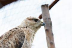 The hawk in the aviary. The maintenance of animals in captivity stock photos
