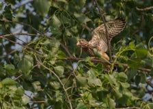 Hawk Baby Fotografia Stock Libera da Diritti