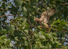Hawk Baby. Learning how to fly Royalty Free Stock Photo