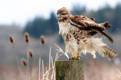 Hawk bad hair day Royalty Free Stock Photo