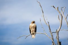 Hawk on bare tree Royalty Free Stock Photos