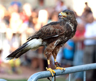 Hawk on a barrier stock photo