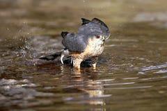 Hawk bathing Royalty Free Stock Images