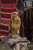 Hawk at the bazar. Of Douz, Tunisia Royalty Free Stock Photos
