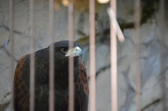 Hawk Behind Bars imagen de archivo