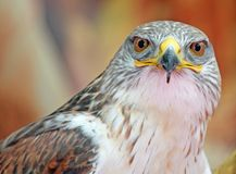 Hawk with big eyes that stare at you Royalty Free Stock Photography