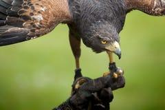 Free Hawk Bird Stock Images - 31187984