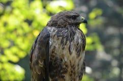 Hawk bird nature wild nature. Green brown animal stock photography