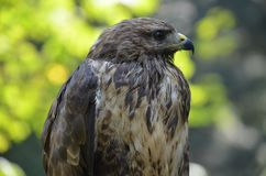 Hawk bird nature wild nature Royalty Free Stock Images