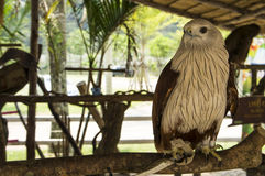 Hawk bird of prey hunting pet concept Stock Photos