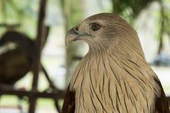 Hawk bird of prey hunting pet concept Stock Photo