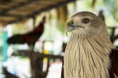 Hawk bird of prey hunting pet concept Stock Images