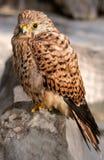 Hawk bird Stock Photos