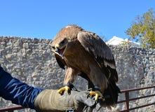 Hawk on bird trainer hand Royalty Free Stock Photography