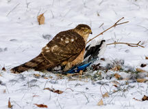 Hawk with a Blue Jay Stock Image