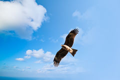 Hawk in the blue sky Stock Images