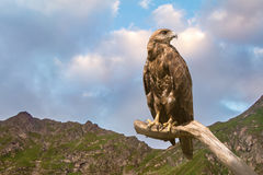 Hawk. On branch royalty free stock image