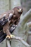 Hawk on a branch Stock Photos