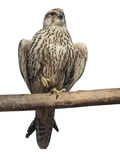 Hawk on a branch, isolated Royalty Free Stock Photography