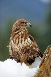 Hawk on a branch Stock Images