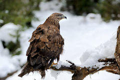 Hawk on a branch Royalty Free Stock Photo