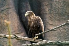 Hawk. Brown hawk at the sunny day Stock Photo