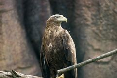Hawk. Brown hawk at the sunny day Stock Images