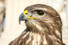 Hawk in Budapest Stock Photography