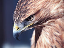 Hawk buteo close-up at red and blue tones looking down. The Hawk buteo close-up at red and blue tones looking down Royalty Free Stock Images