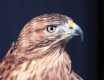 Hawk buteo close-up at red and blue tones looking right. The Hawk buteo close-up at red and blue tones looking right Stock Image