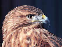 Hawk buteo close-up at red and blue tones looking to the right. The Hawk buteo close-up at red and blue tones looking to the right Stock Image