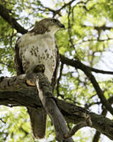 Hawk (buteo jamaicensis) Royalty Free Stock Photos