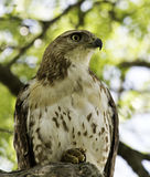 Hawk (buteo jamaicensis) Royalty Free Stock Image