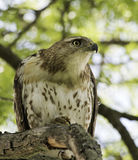 Hawk (buteo jamaicensis) Royalty Free Stock Images