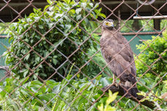 Hawk in cage Royalty Free Stock Photos